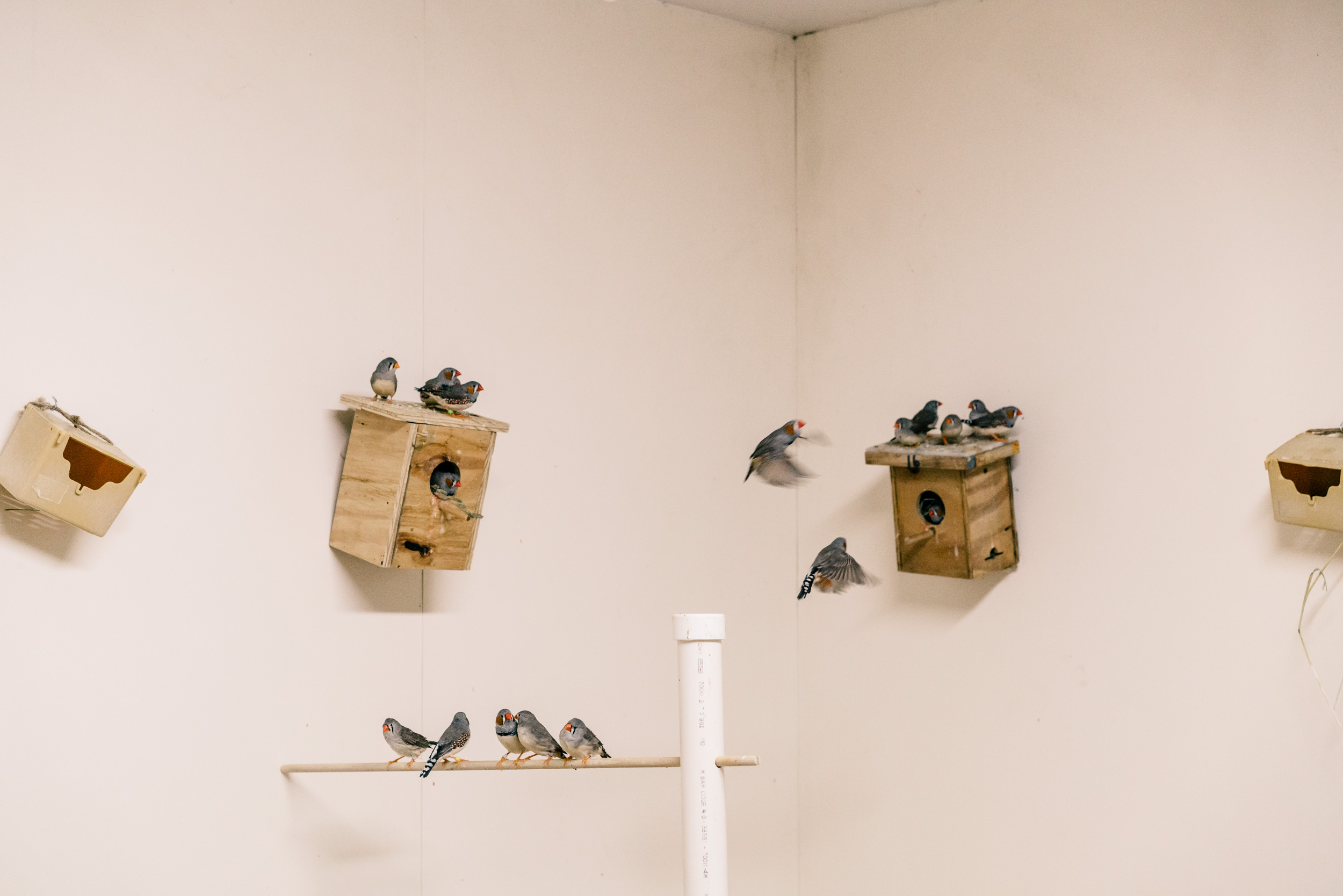 Zebra Finches in room for study