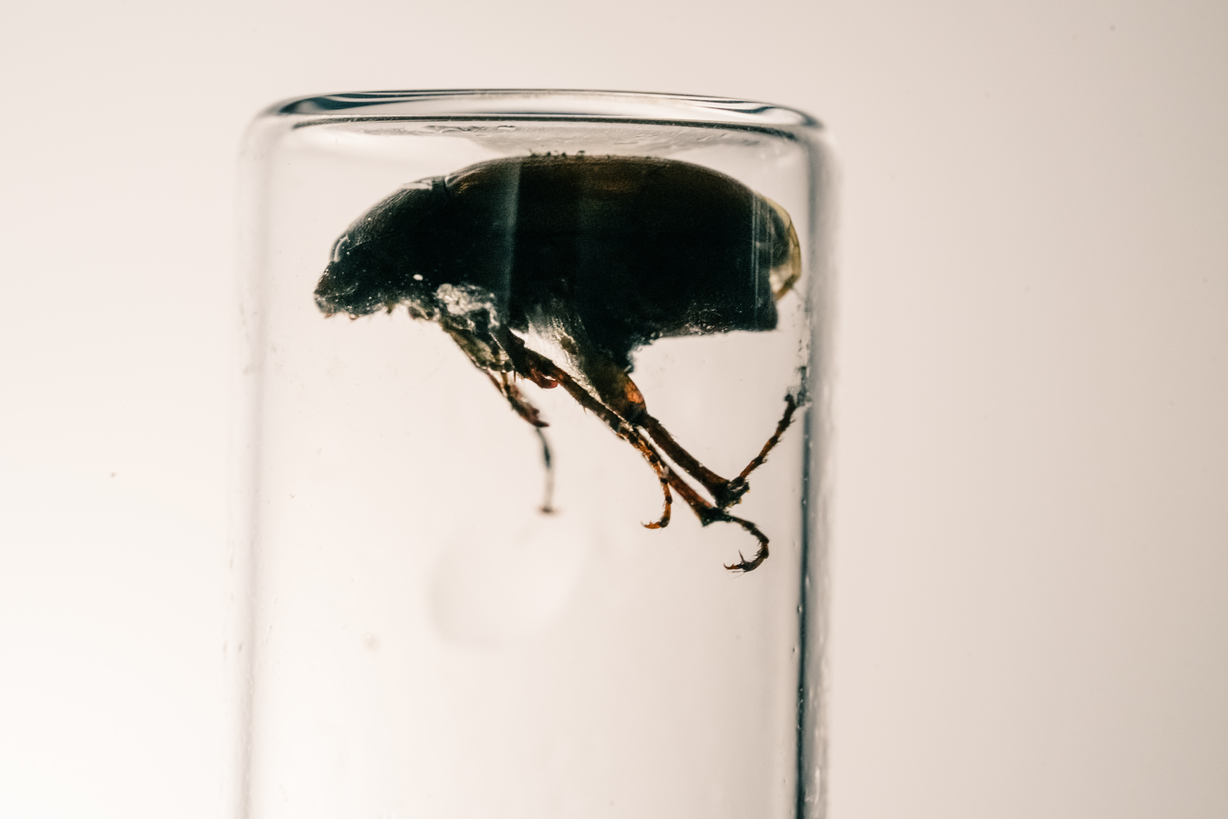beetle poisoned by mercury in test tube