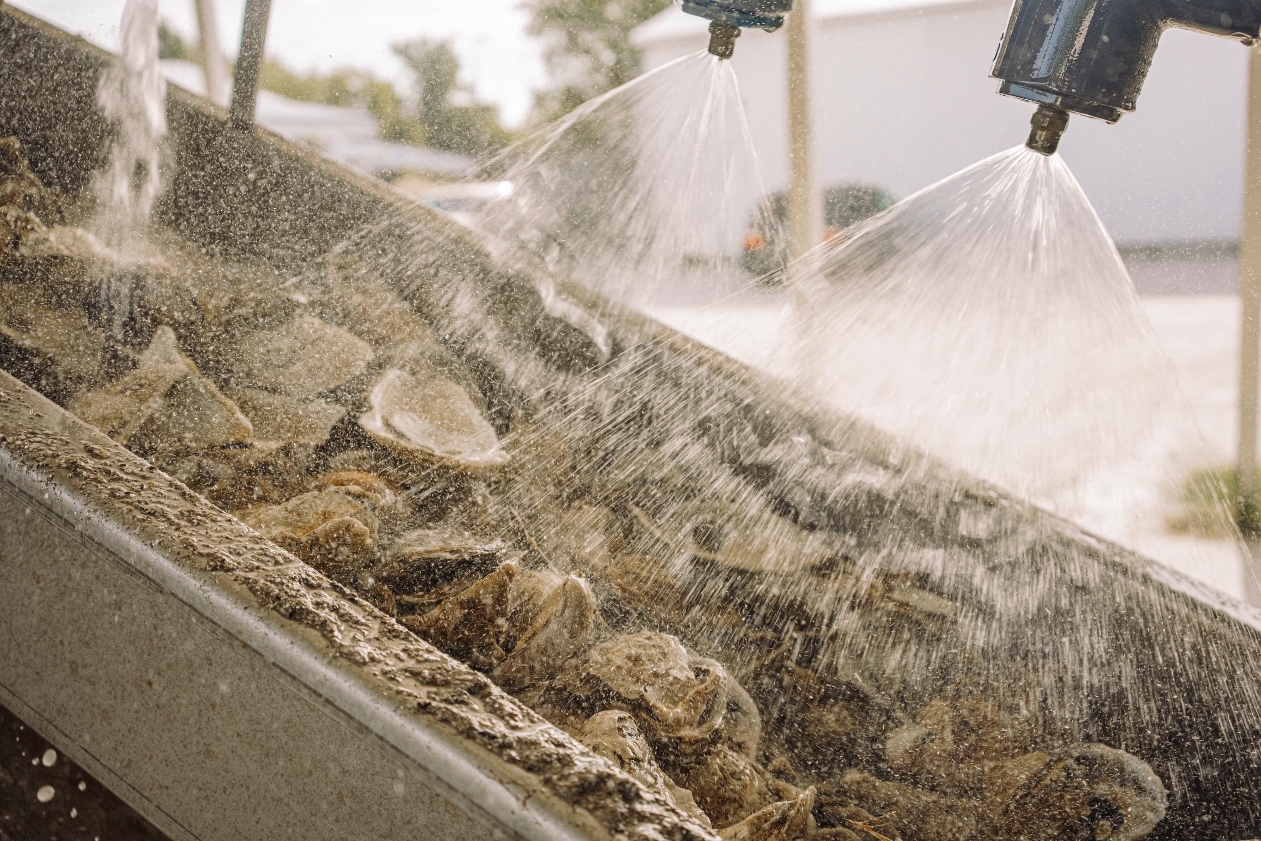 oyster shells being cleaned with power wash