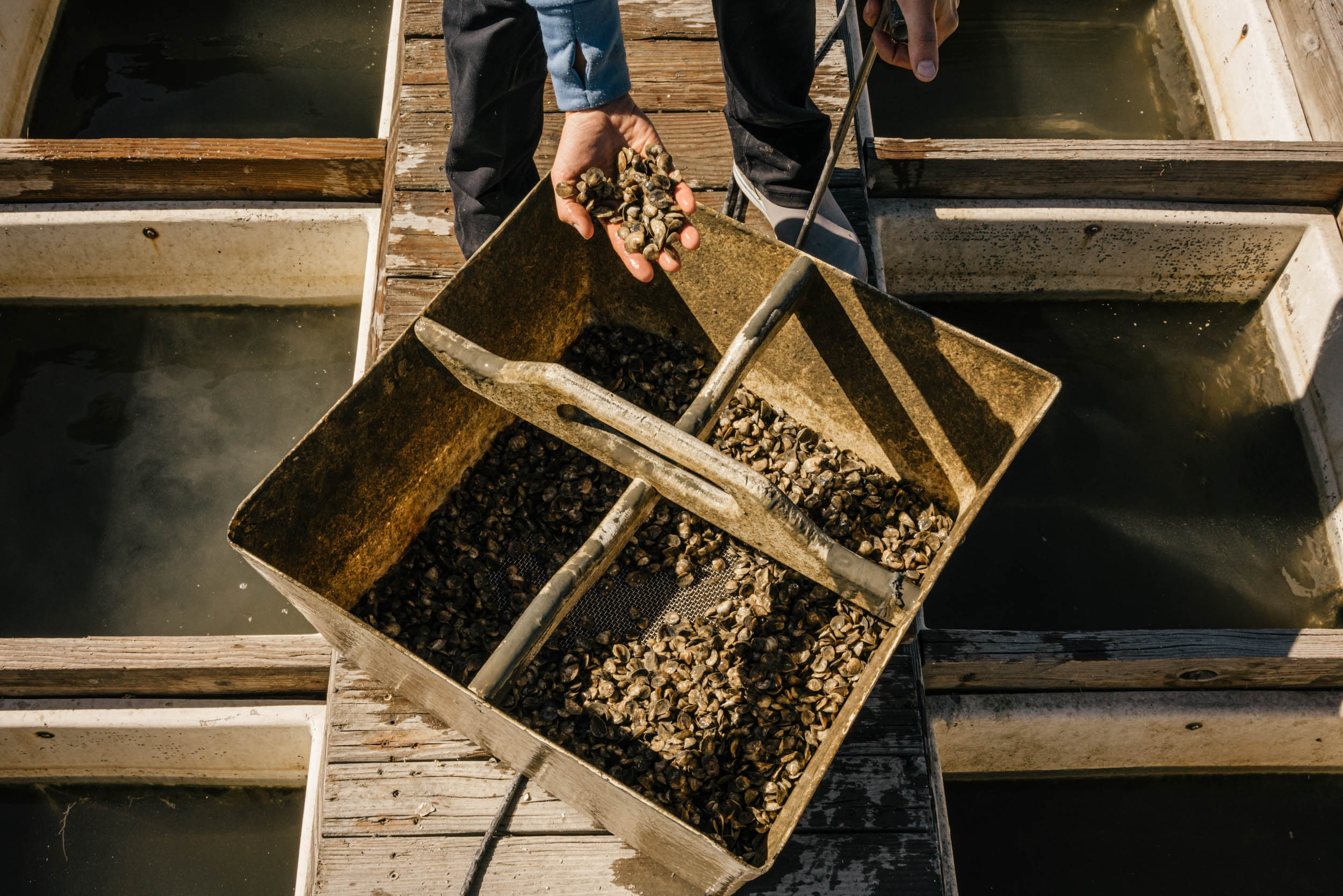 oyster seedlings on dock in hand of oyster farmer