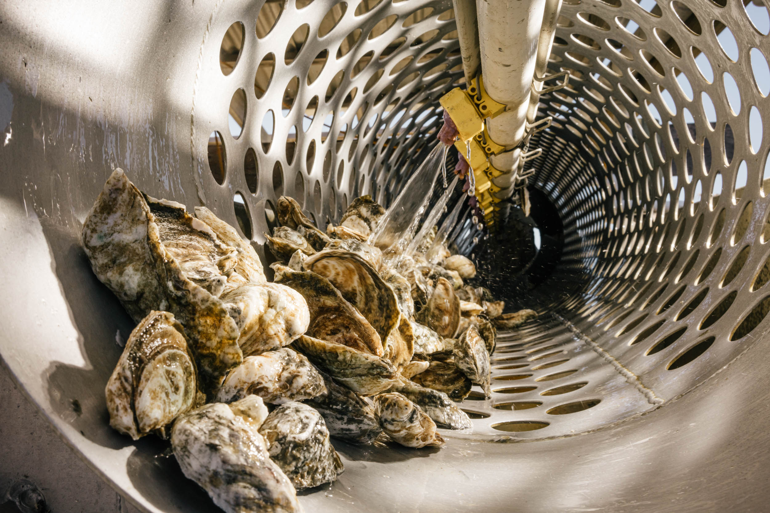 oysters being cleaned in tumbler with water
