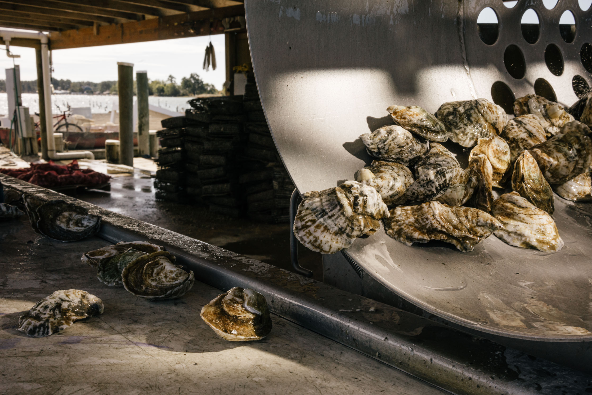 oysters coming out of tumbler cleaned