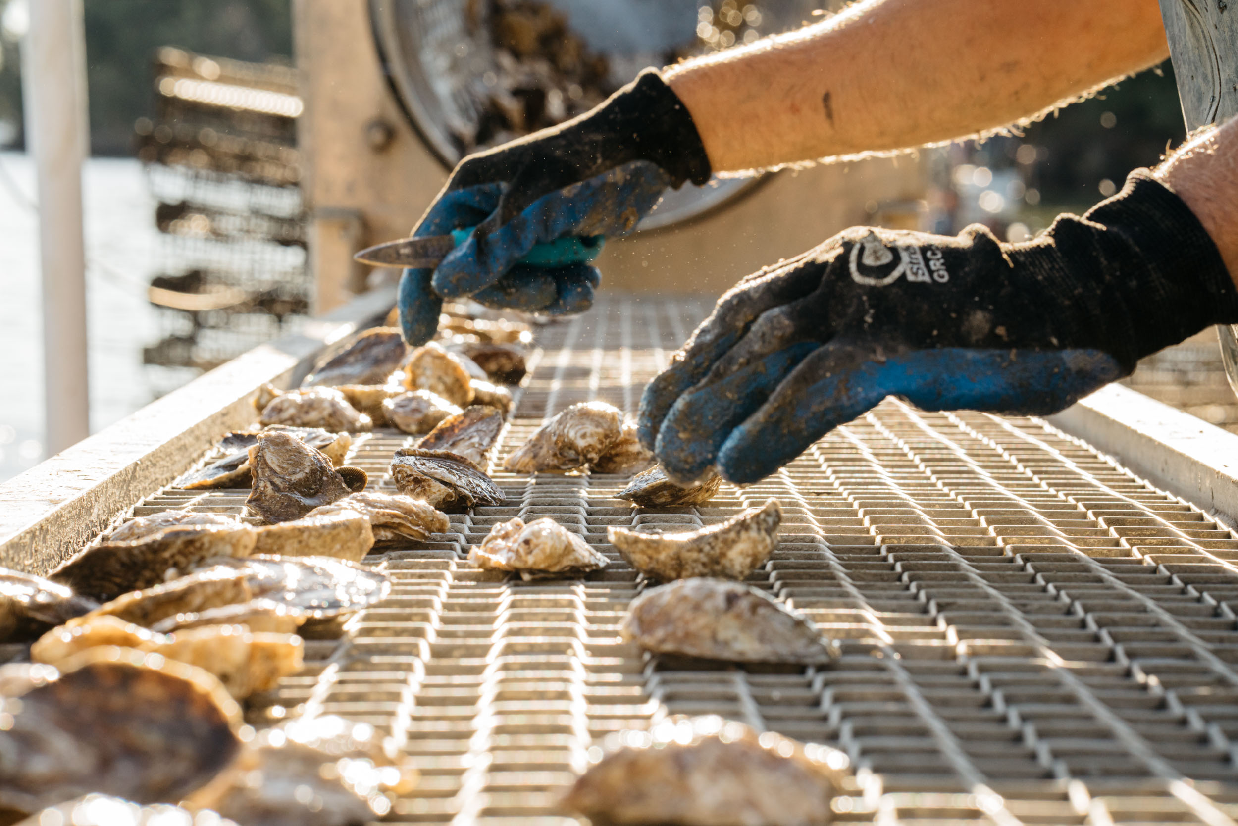 oysters being sorted on conveyor belt with gloves