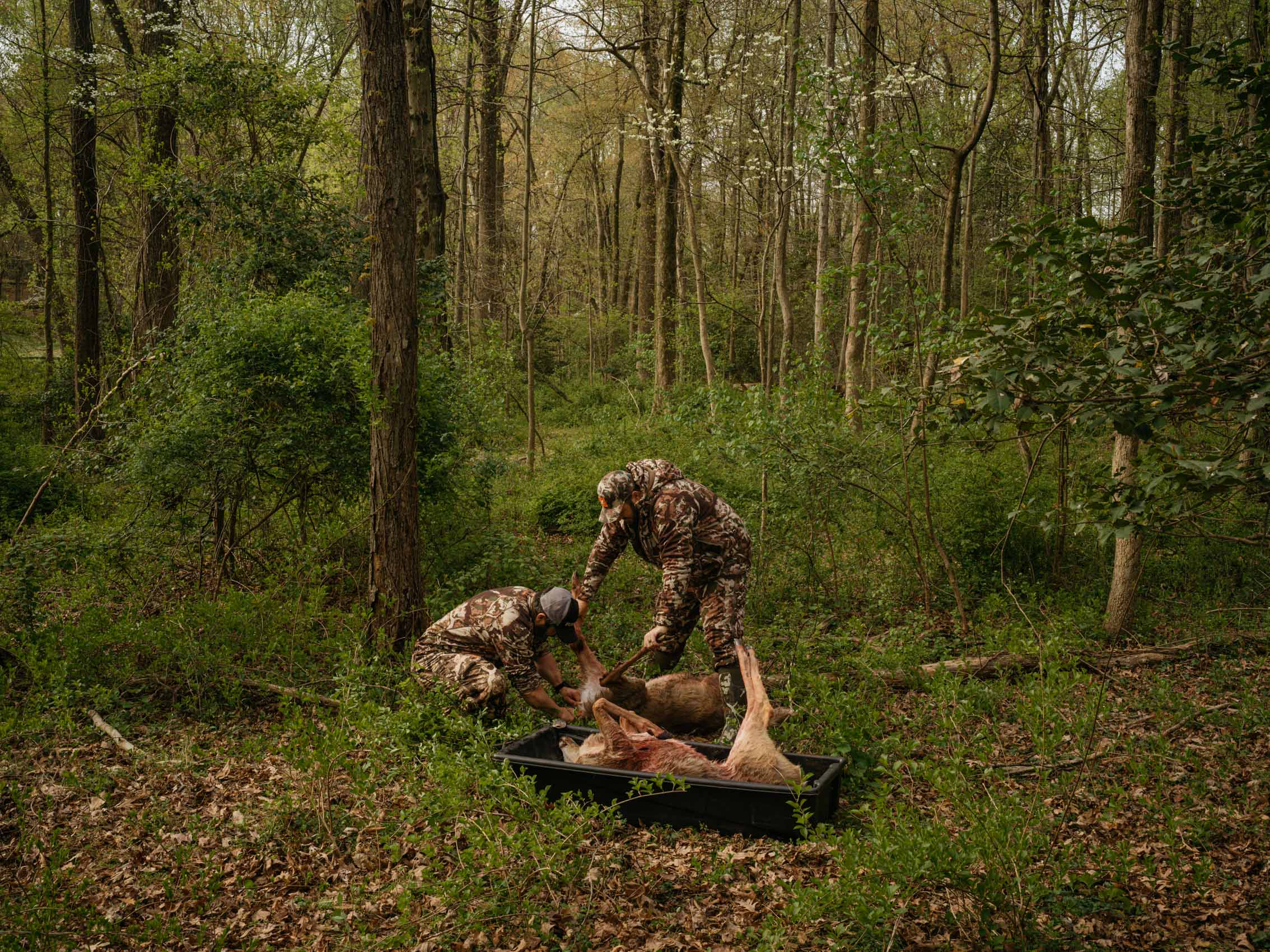 Deer Hunters dressing deer in field
