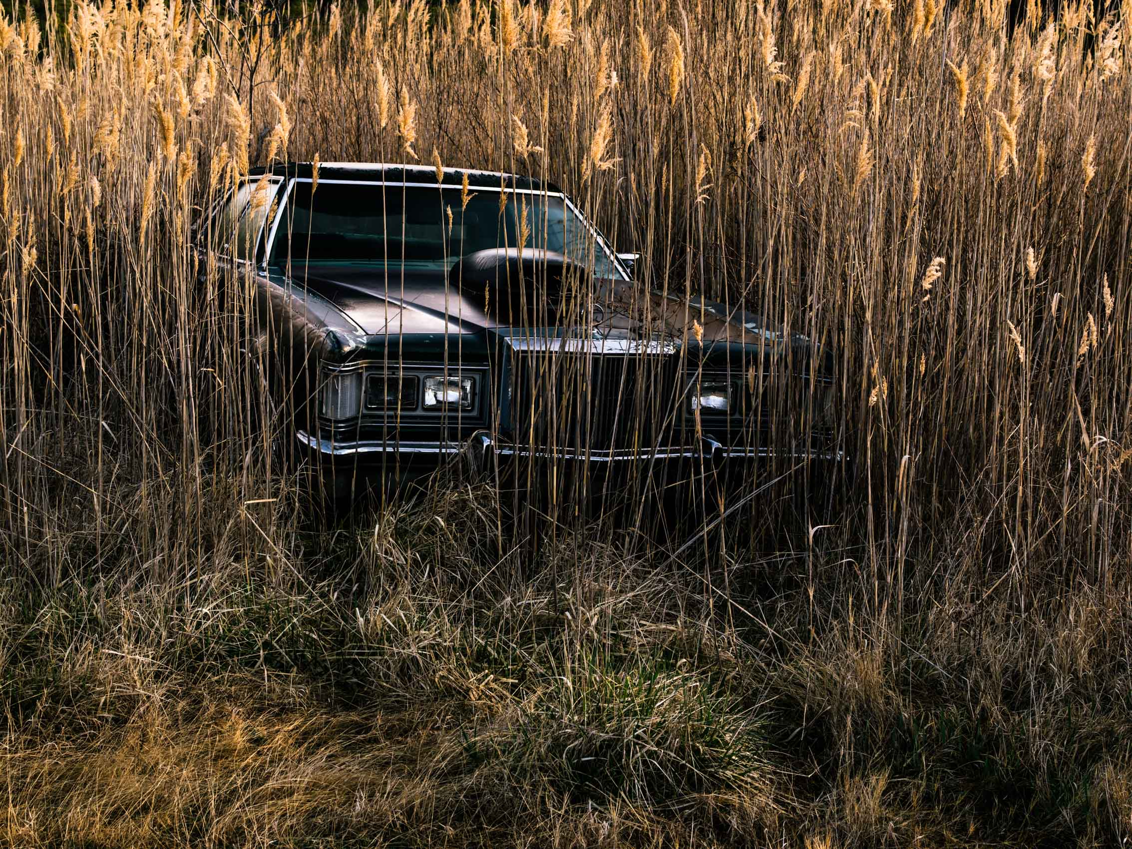 Washington DC editorial photographer abandoned car is enveloped by phragmites near Deal Island