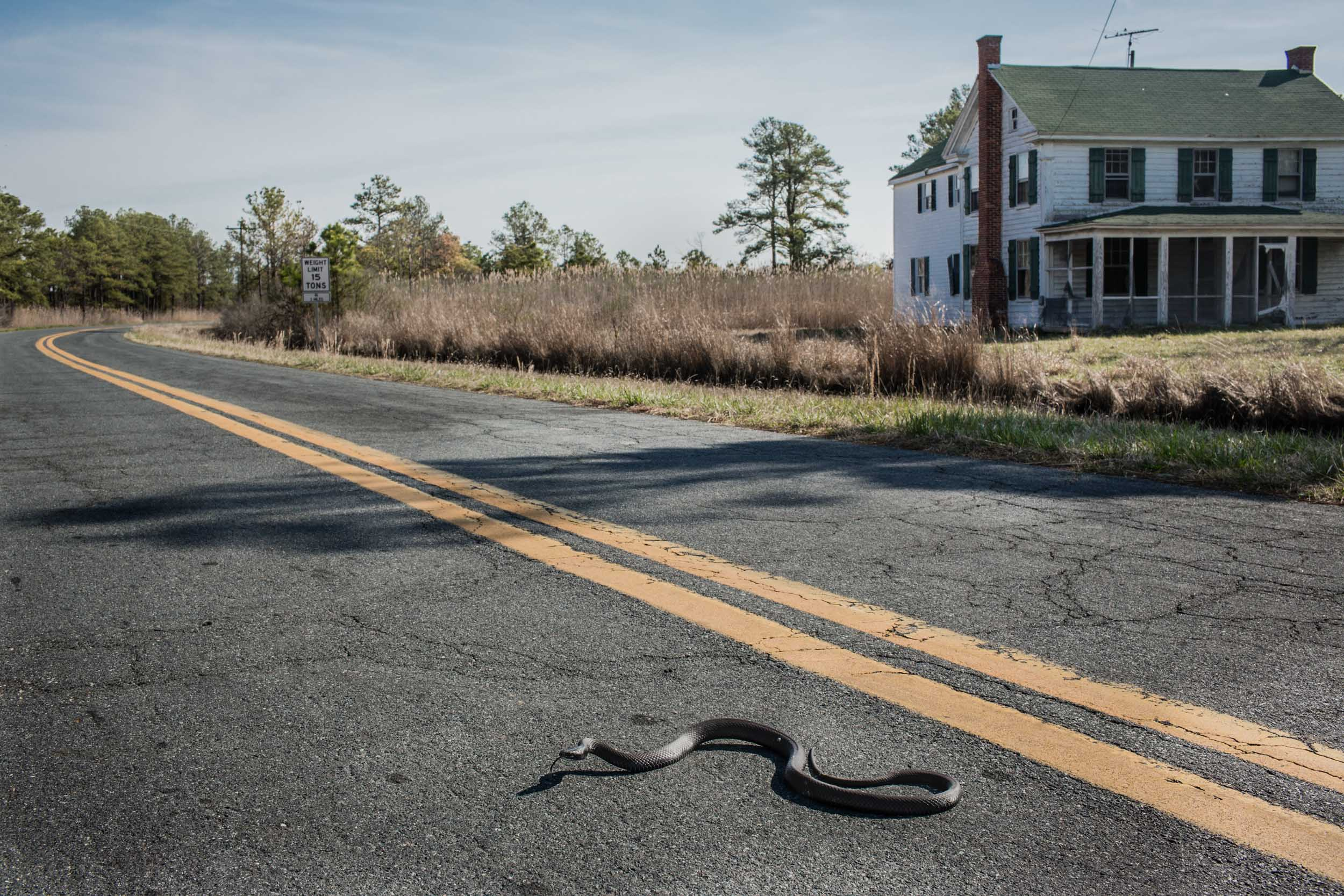 Washington DC editorial photographer A black rat snake slithers across Maple Dam Road in Church Creek
