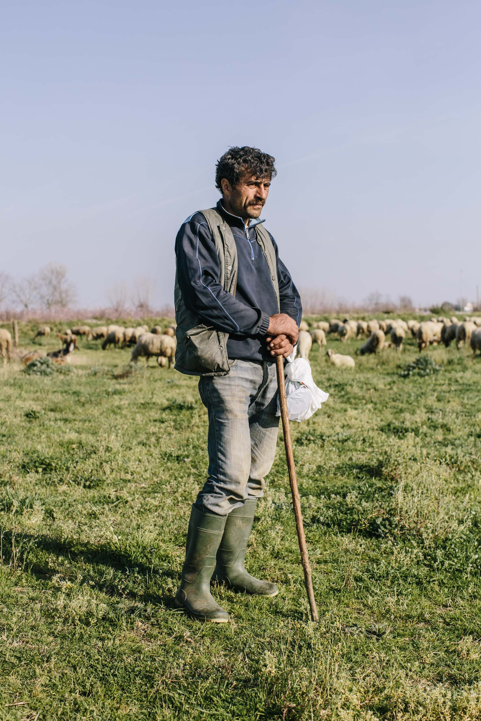 sheep herder watches flock on toxic land