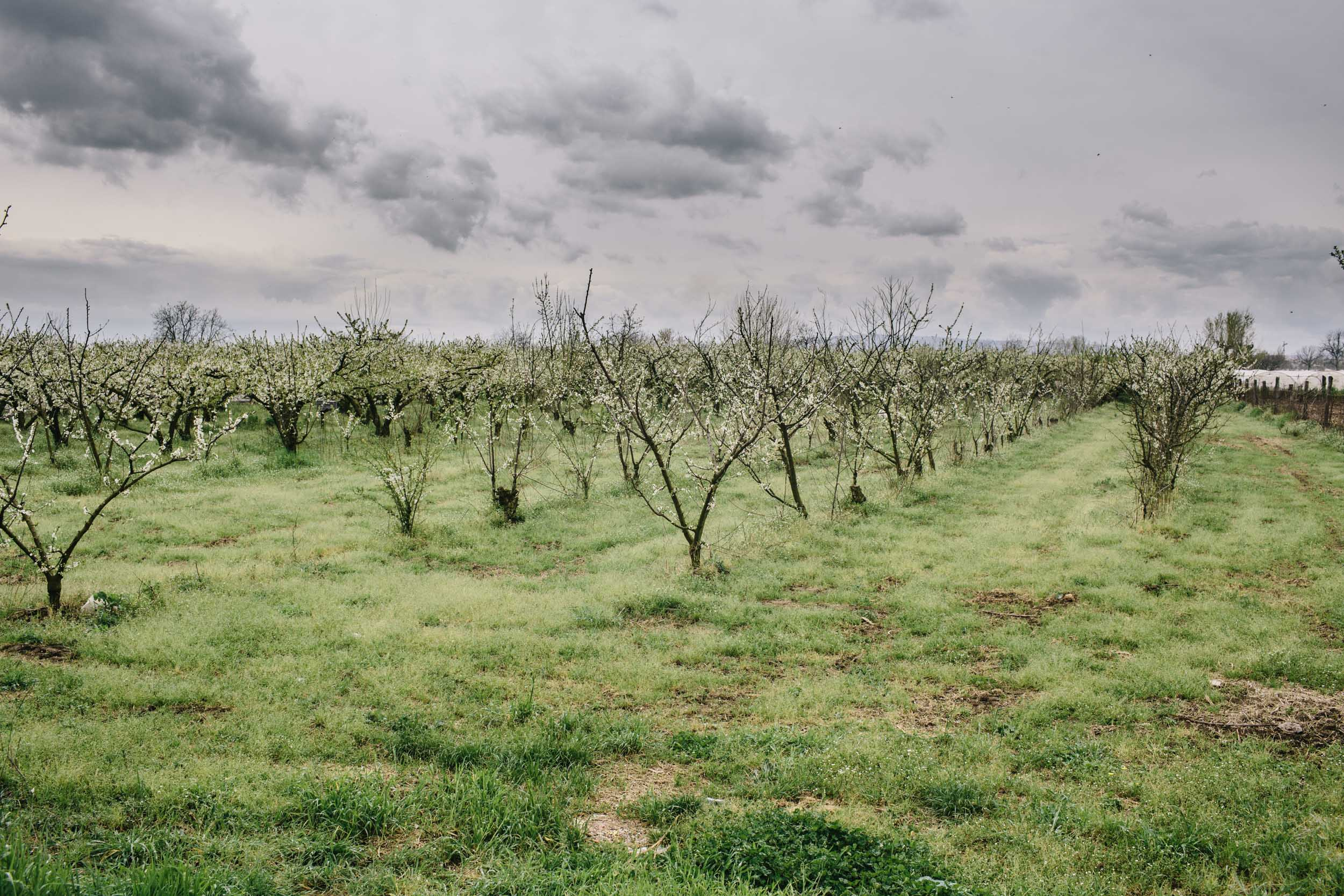 A peach tree farm begins to bloom in the late Spring