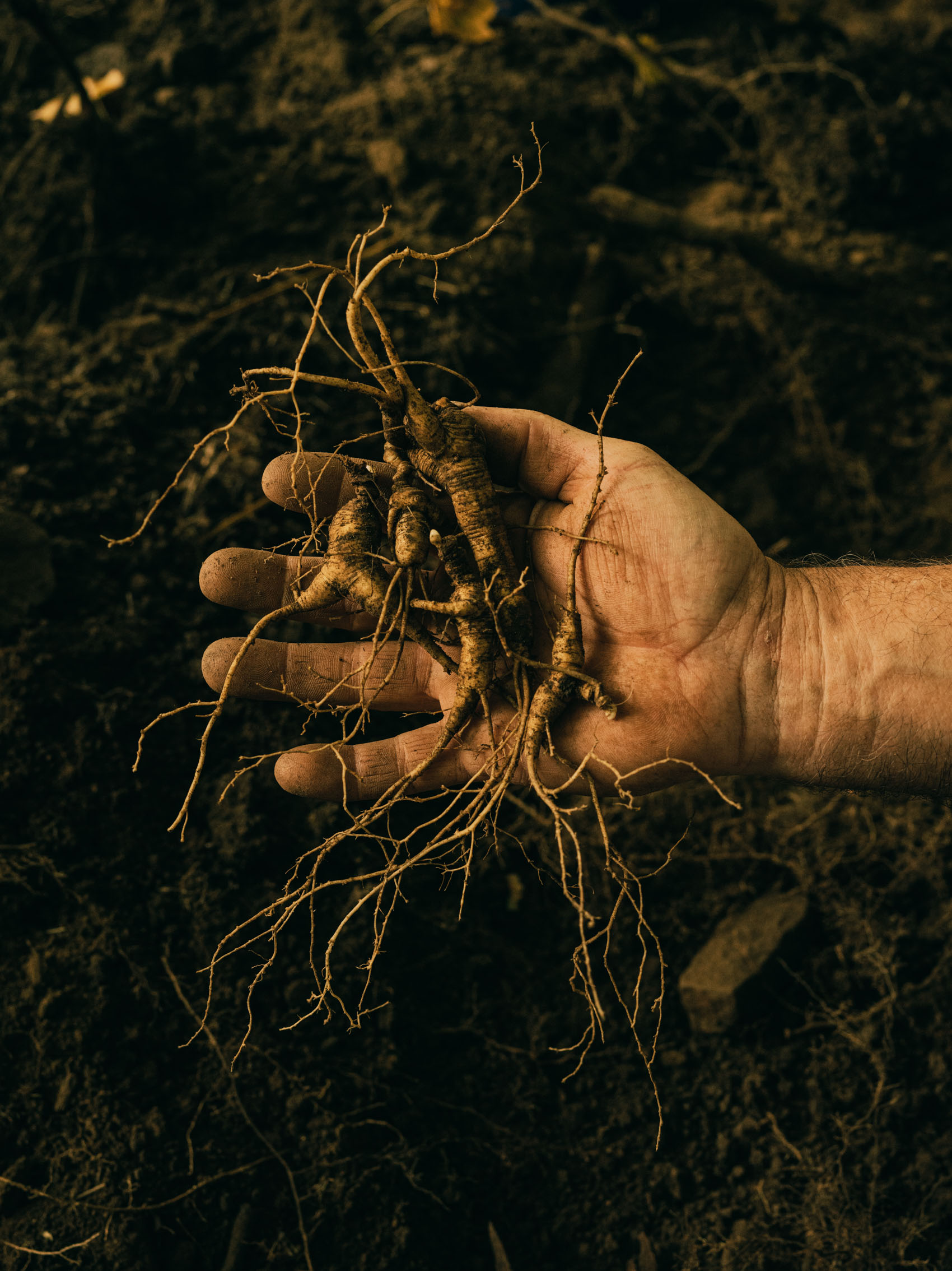 Washington DC editorial photographer wild simulated ginseng in hand of farmer