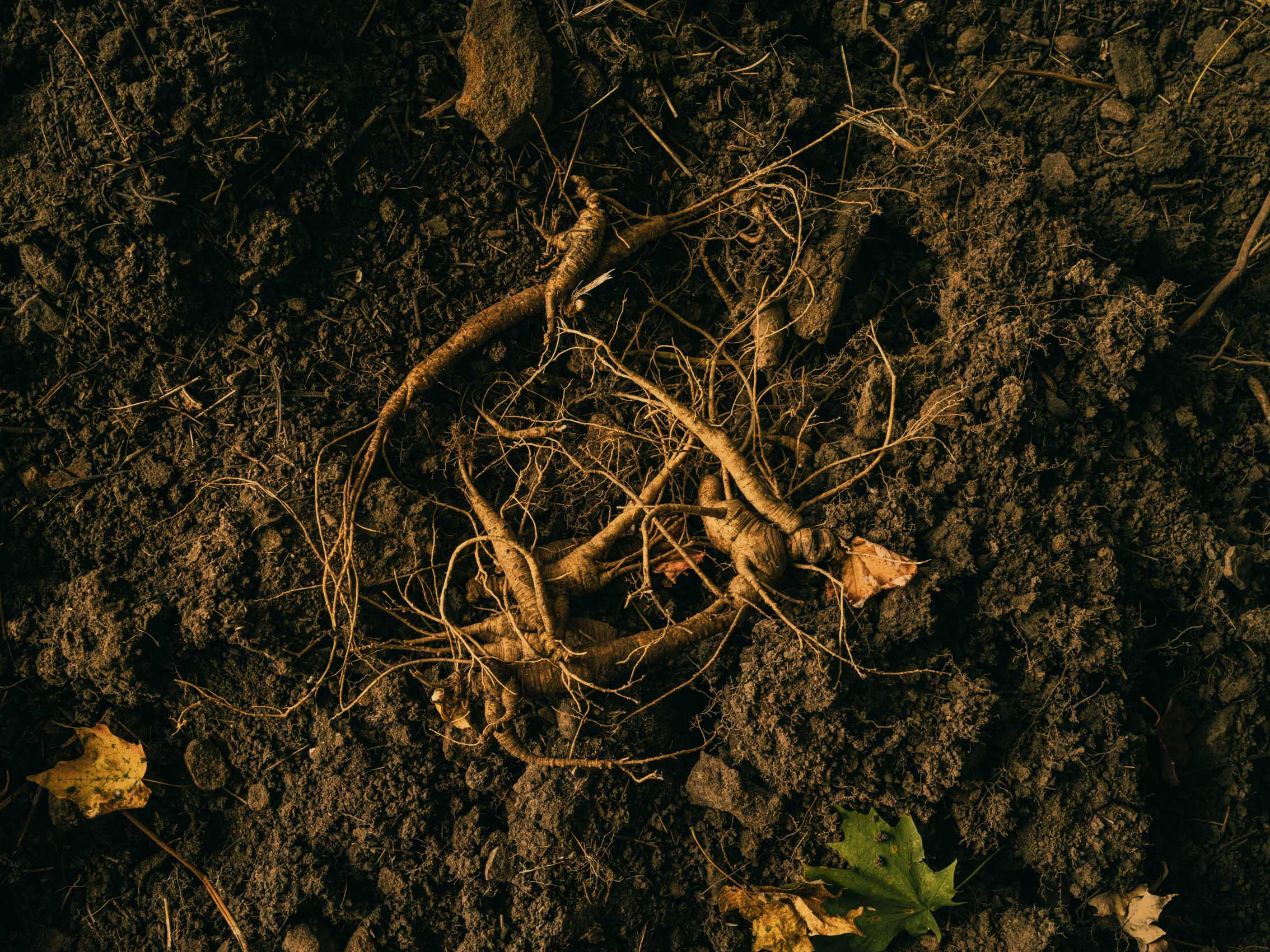 wild-simulated ginseng in Maryland
